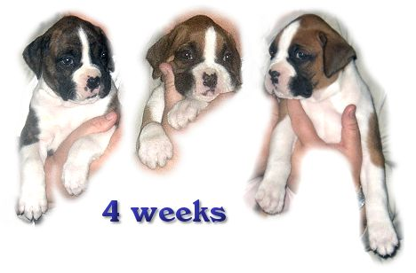 3 of Glory's pups at 4 weeks
